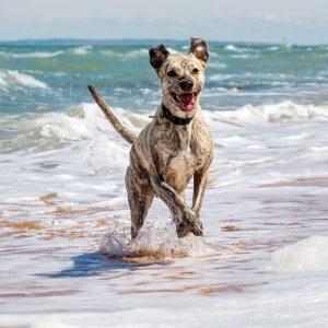 Dog running in beach