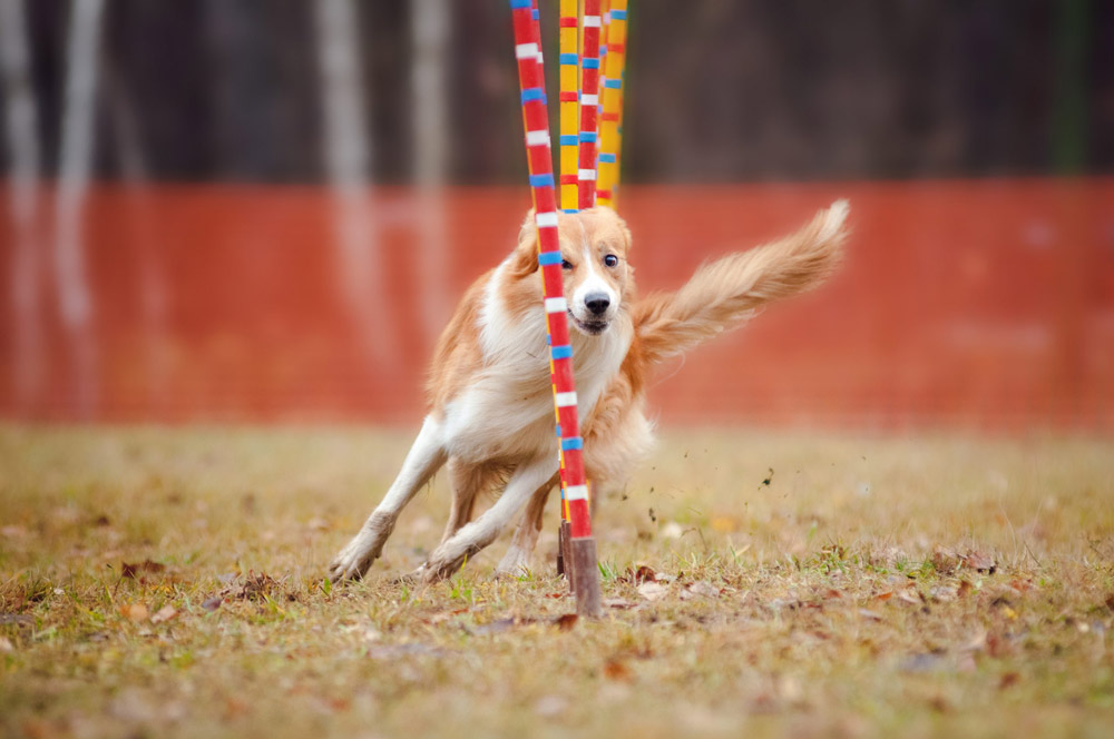 Agility Dog Need Joint Supplements